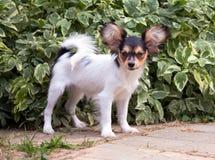 Portret van een vier maand-oud Papillon puppy Royalty-vrije Stock Fotografie