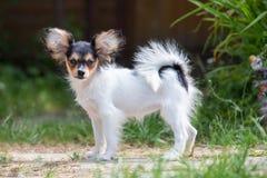 Portret van een vier maand-oud Papillon puppy Stock Foto's