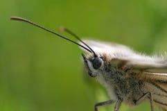Portret van een vlinder Royalty-vrije Stock Afbeelding