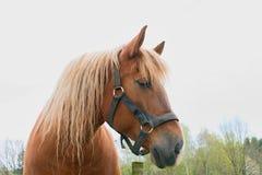 Portret van een volbloed- kastanjehengst horse landbouwbedrijf, schone het paardstallen van Nice Royalty-vrije Stock Foto's
