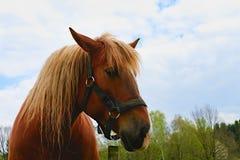 Portret van een volbloed- kastanjehengst horse landbouwbedrijf, schone het paardstallen van Nice Stock Afbeelding