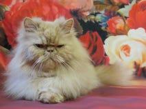 Portret van een volwassen Perzische kat Stock Afbeelding