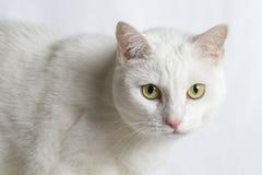 Portret van een vrij witte kat Stock Afbeelding