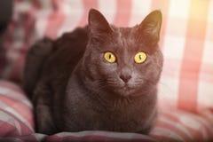 Portret van een vrouwelijke blauwe Russische katten gele ogen/kartuizer kat Royalty-vrije Stock Foto