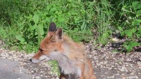 Portret van een vrouwelijke vos, fawn stock video