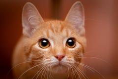 Portret van een vurig-rood gestreepte katkatje stock fotografie