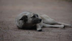 Portret van een waakzame hond die op de grond en de kwispelingen liggen zijn staart stock video