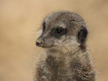 Portret van een waakzame Meerkat Royalty-vrije Stock Foto