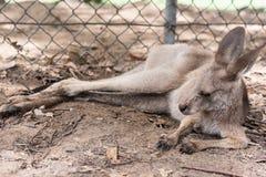 Portret van een wallaby Royalty-vrije Stock Foto