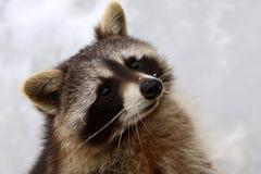 Portret van een wasbeer royalty-vrije stock afbeeldingen