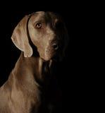 Portret van een weimaraner Royalty-vrije Stock Foto's