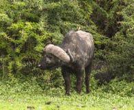 Portret van een wilde Afrikaanse buffel stock foto
