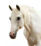 Portret van een wit paard Stock Afbeelding
