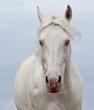 Portret van een wit paard op de hemelachtergrond stock afbeelding