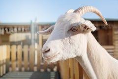 Portret van een witte geit op de achtergrond van huis het posten royalty-vrije stock foto