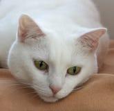Portret van een witte kat stock fotografie