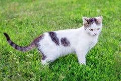 Portret van een witte kat van gemiddelde lengte op groene grass_ stock fotografie