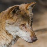 Portret van een wolf in zonlicht royalty-vrije stock foto