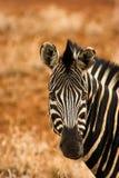 Portret van een zebra Royalty-vrije Stock Fotografie