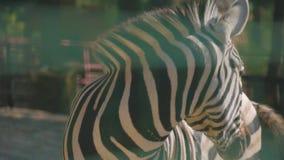 Portret van een zebra bij de dierentuin stock footage