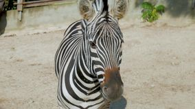 Portret van een zebra bij de dierentuin stock videobeelden