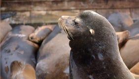 Portret van een Zeeleeuw bij de Zeeleeuwenkolonie van Pijler 39 Royalty-vrije Stock Fotografie