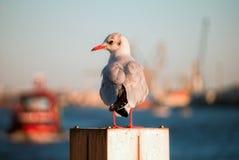 Zeemeeuw bij de haven. Royalty-vrije Stock Fotografie