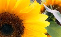 Portret van een zonnebloem stock afbeeldingen