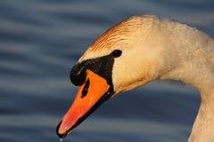 Portret van een zwaan Stock Afbeeldingen