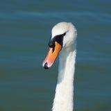 Portret van een zwaan Stock Foto