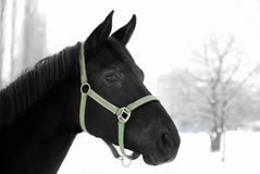 Portret van een zwart paard in de winter royalty-vrije stock foto's