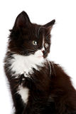 Portret van een zwart-wit katje Royalty-vrije Stock Afbeeldingen