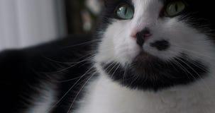 Portret van een zwart-witte huiskat stock footage