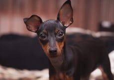 Portret van een zwarte hond met afluisteraar Stock Foto's