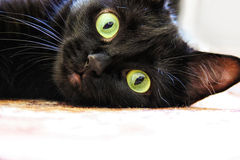 Portret van een zwarte kat Royalty-vrije Stock Foto