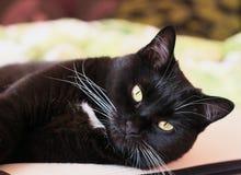 Portret van een zwarte kat met witte bakkebaarden Royalty-vrije Stock Fotografie