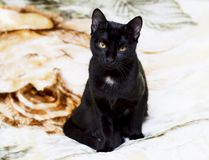 Portret van een zwarte kat op een deken stock afbeelding