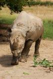 Portret van een zwarte rinoceros Stock Afbeelding