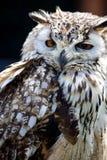 Portret van Europees-Aziatisch Eagle Owl (Bubo-bubo) stock foto's