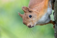 Portret van Europees-Aziatische rode eekhoorn Sciurus vulgaris met vage groene achtergrond stock afbeeldingen