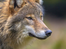 Portret van Europese Wolf Royalty-vrije Stock Foto's