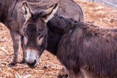 Portret van ezel die terug met zijn links gedraaid hoofd kijken stock foto