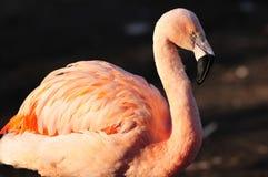 Portret van Flamingo Royalty-vrije Stock Fotografie