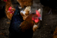 Portret van Formidabele helder gekleurde Kip Vrije Waaier binnenlandse vogel en andere Kippen op achtergrond op landbouwbedrijf D Stock Fotografie