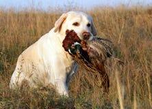 Portret van geel Labrador met fazant Stock Foto