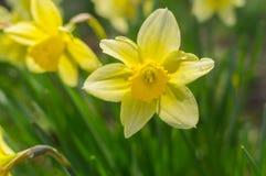 Portret van gele narcissen bij lentetijd Stock Afbeeldingen