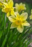 Portret van gele narcissen bij lentetijd ondiepe dof Royalty-vrije Stock Afbeeldingen