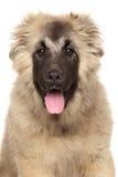Portret van gelukkige Kaukasische herdershond royalty-vrije stock fotografie