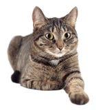 Portret van gestreepte katkat op witte achtergrond wordt geïsoleerd die Royalty-vrije Stock Afbeeldingen