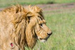 Portret van Gewonde Leeuw Royalty-vrije Stock Afbeelding